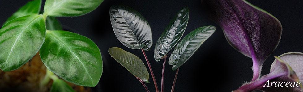 スキスマ、ゲスネリアなど水生植物