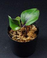 """ゲオゲナンサス・キリアタス Geogenanthus ciliatus """"Ecuador"""""""