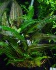 """画像2: Cry. affinis variegata """"Kuala Lipis"""" (2)"""