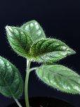 """画像3: ラフィオカルパス <br>Raphiocarpus petelotii """"Viet Nam"""" (3)"""