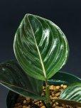 """画像2: アグラオネマ・ロタンダム<br>Aglaonema rotundum """"Aceh"""" (2)"""