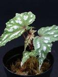 """画像1: ベゴニア・ラルエイ<br>Begonia laruei """"Sumatera"""" (1)"""