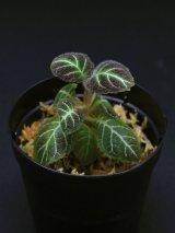 ペアルケア・ヒポキルティフローラ   Pearcea hypocyrtiflora