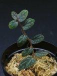 画像2: ペリオニア <br>Pellionia sp.  (2)